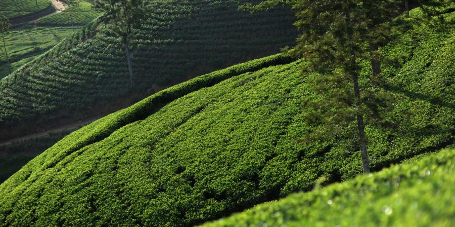 tea trails i
